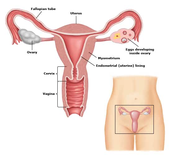 These are the internal organs that make up a woman's reproductive ...